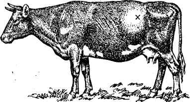 военник прокол при вздутии у теленка коноплю курят