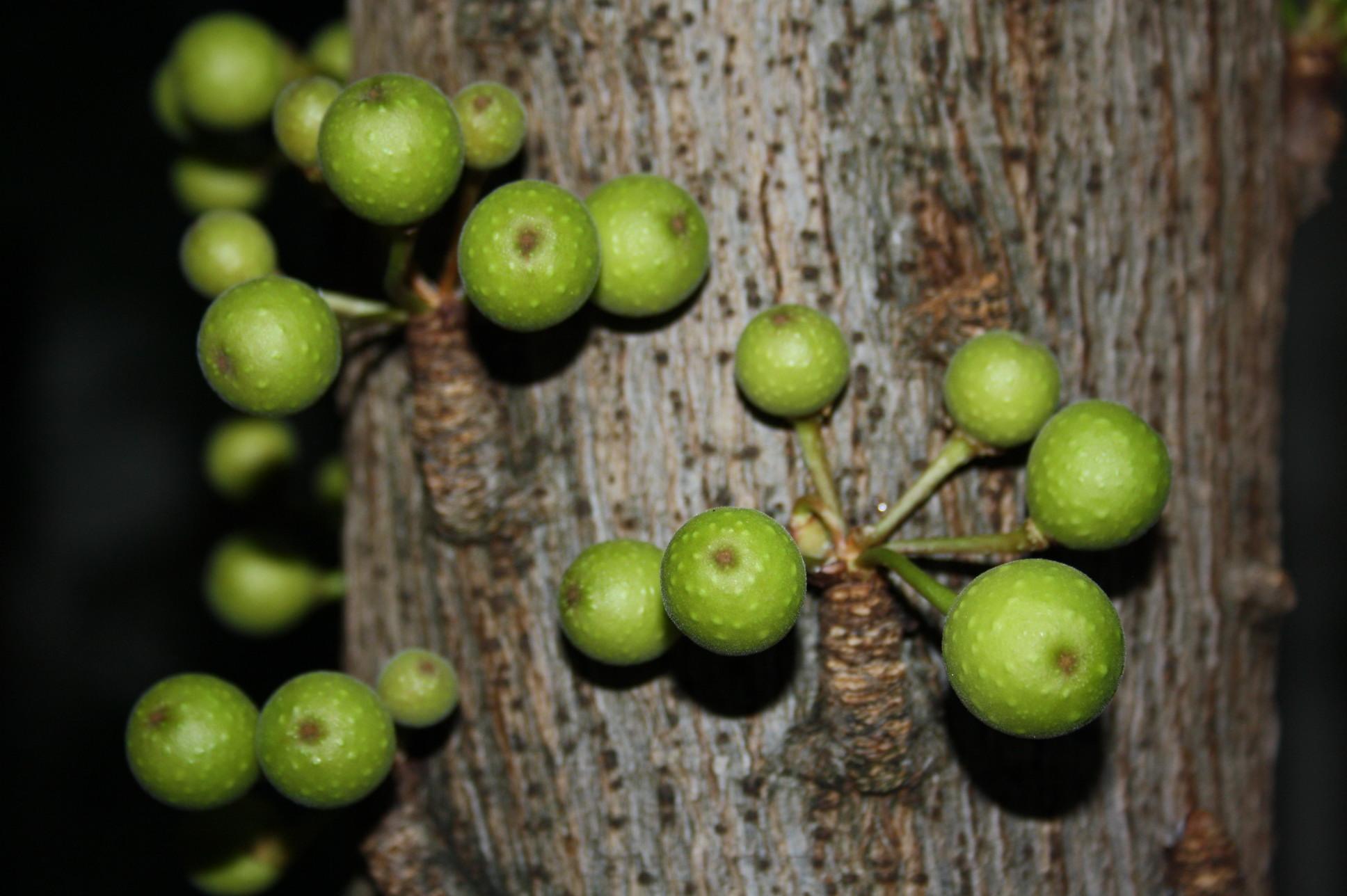 W rgefeigen - Epiphyten zimmerpflanze ...