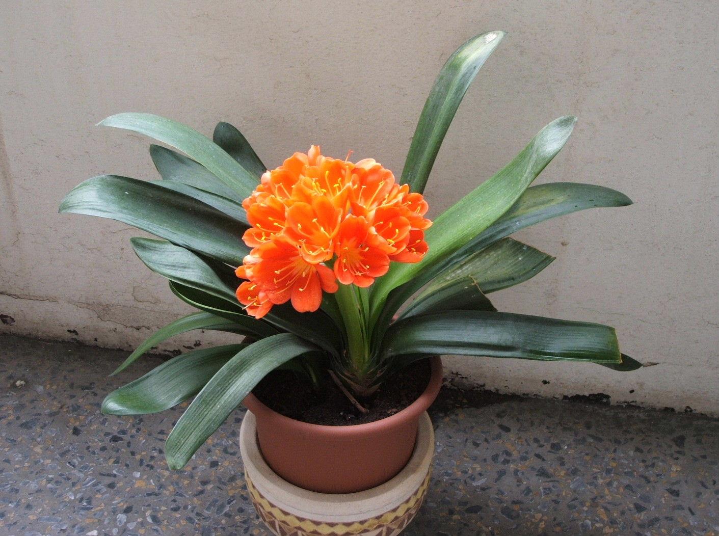Topfpflanze - Schattige zimmerpflanzen ...