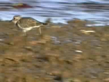Double-banded Plover (winter).ogg