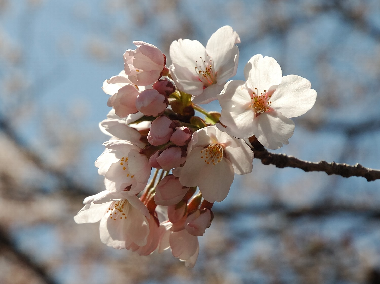 Cherry blossom  Wikipedia