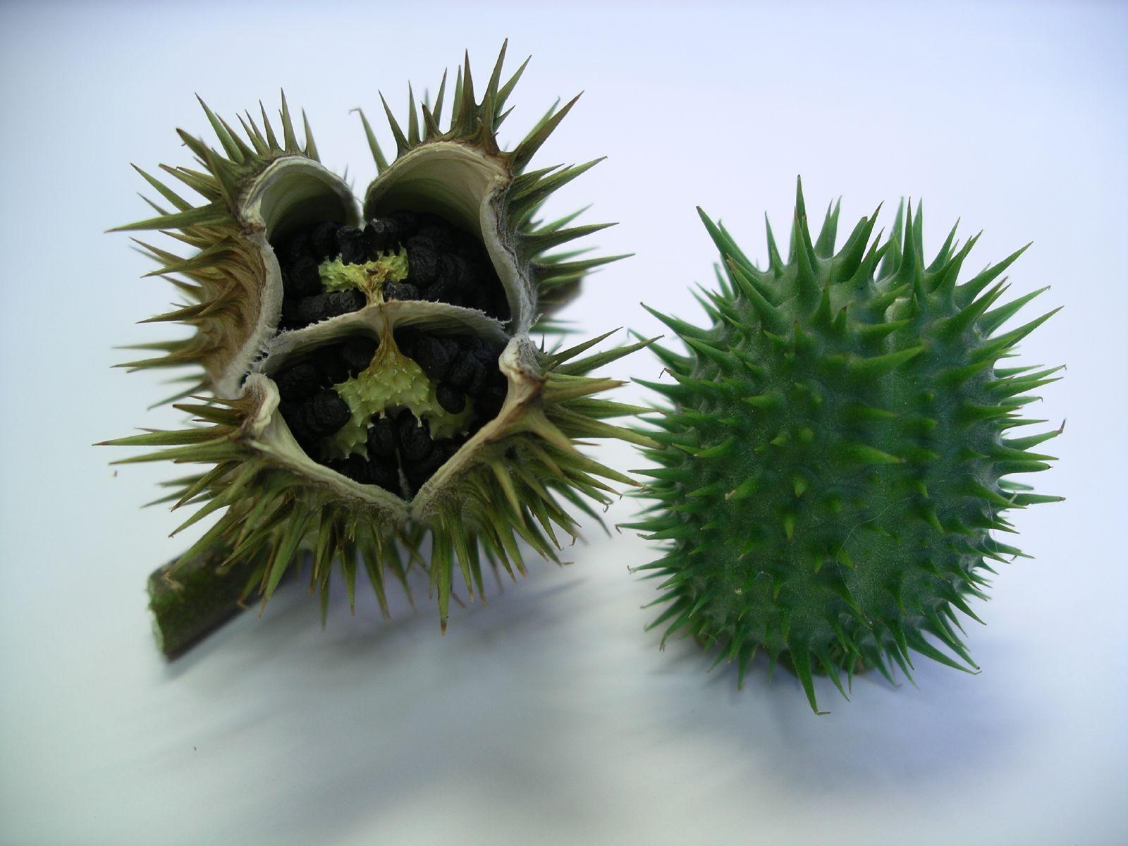 В Скадовске 5 приезжих малолеток отравились семенами дурмана.