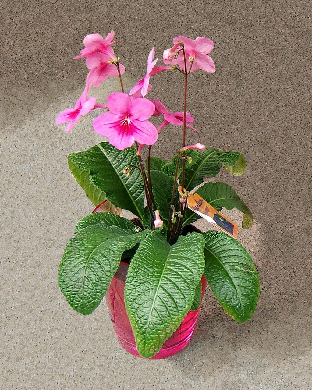 Комнатный цветок стрептокарпус: фото сортов с описанием, размножение и 77