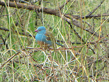 Blue-capped Cordon-bleu, Ngorongoro.jpg