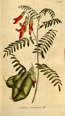 Lessertia frutescens, Illustration von William Curtis