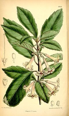 Alseuosmia macrophylla, Illustration.