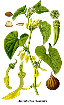 Osterluzei (Aristolochia clematitis), Illustration.
