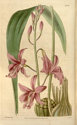 Bletia patula, Illustration aus Curtis's Botanical Magazine
