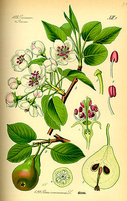 Kultur-Birne (Pyrus communis), Illustration
