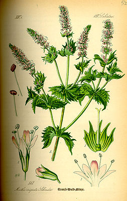 Krause Waldminze (M. spicata var. crispa), Illustration