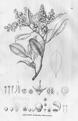Lecythis chartacea, Illustration.