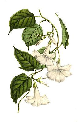 Chilenischer Jasmin (Mandevilla laxa) – Illustration