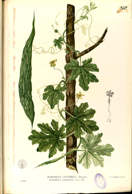 Balsambirne (Momordica charantia), Illustration.