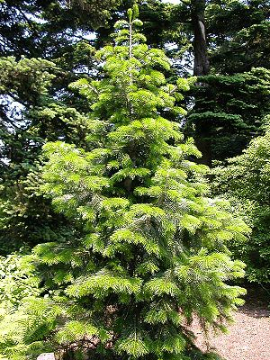 Pindrow-Tanne (Abies pindrow)