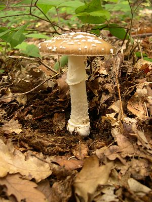 Pantherpilz (Amanita pantherina)