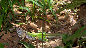 Ameiva ameiva by Dario Sanches.jpg