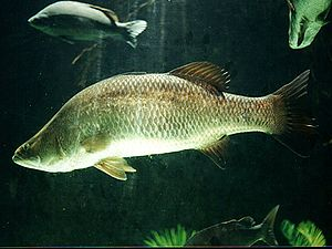 Barramundi (Lates calcarifer)