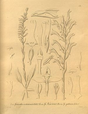 Beloglottis costaricensis(as syn. Spiranthes costaricensis)Tafel I. 1-3 im Band IIHeinrich Gustav ReichenbachXenia Orchidacea(1858–1900)