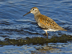 Alpenstrandläufer (Calidris alpina), Prachtkleid