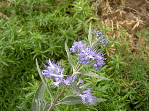 Cladon-Bartblume (Caryopteris × clandonensis 'Heavenly Blue')