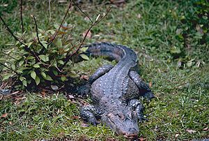 China-Alligator (Alligator sinensis)