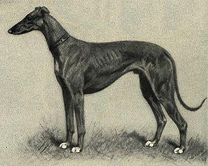 greyhound übersetzung