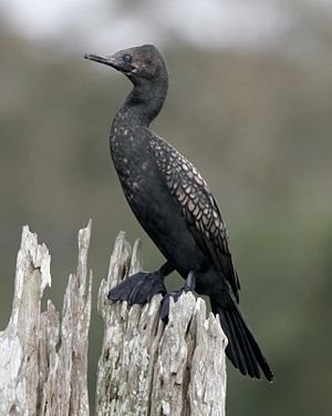 Indian Cormorant (Phalacrocorax fuscicollis).jpg
