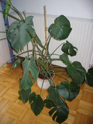 Monstera deliciosa - Zimmerpflanze monstera ...
