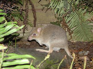 Bettongia gaimardi ♀