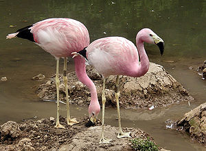 Two andeanflamingo june2003 arp.jpg