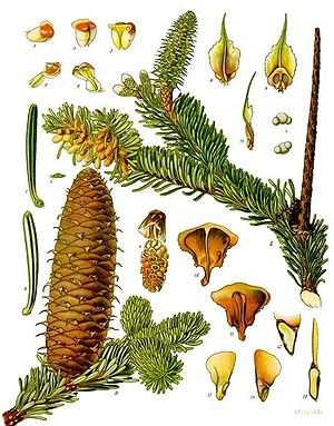 Weißtanne (Abies alba), Illustration aus Koehler 1887.