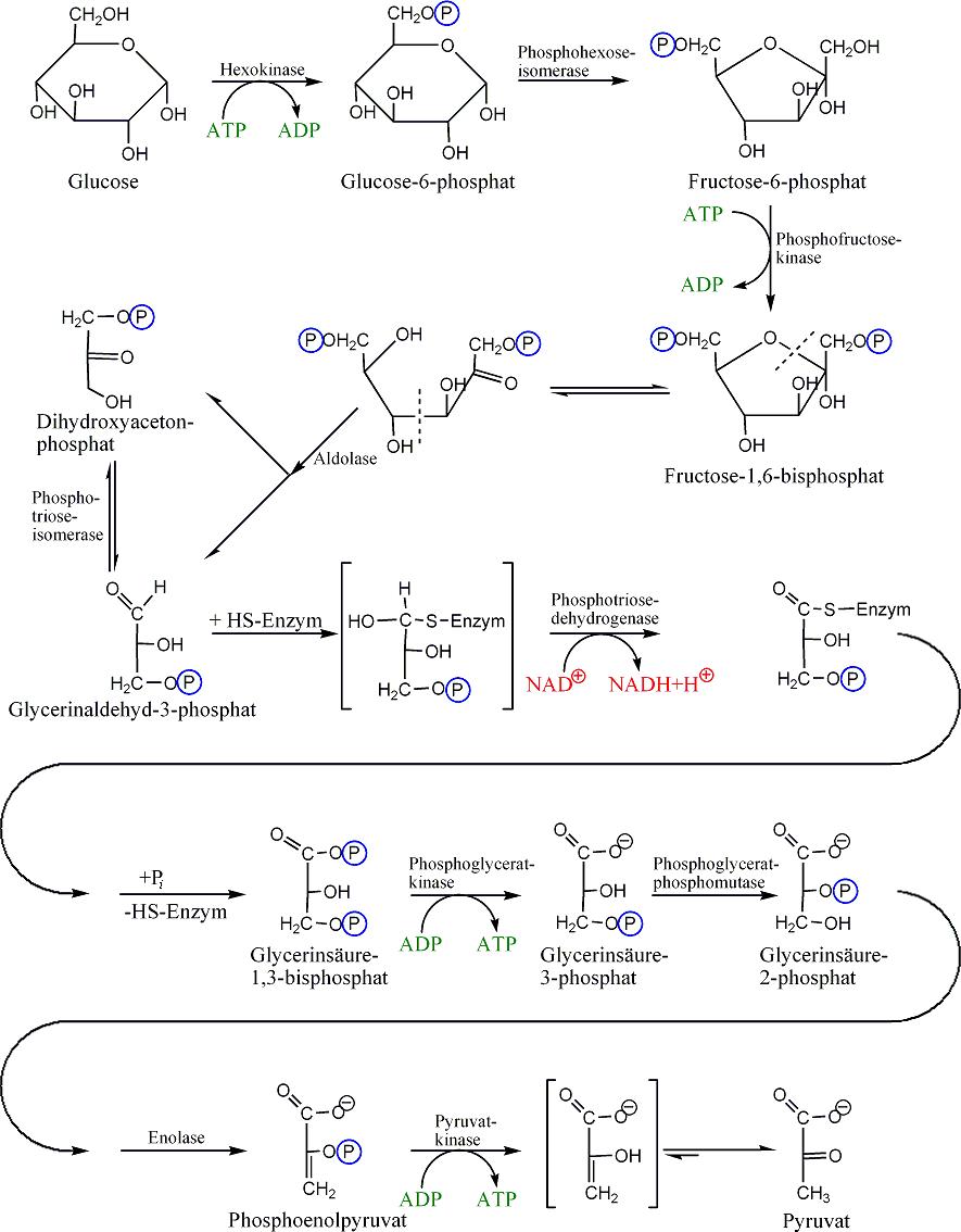 rutas anabolicas definicion