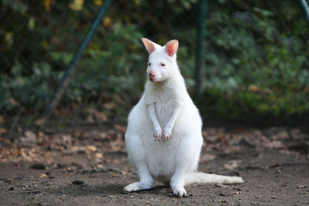 Albino Känguru