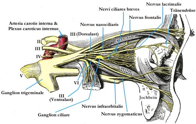nervus trochlearis - meddic