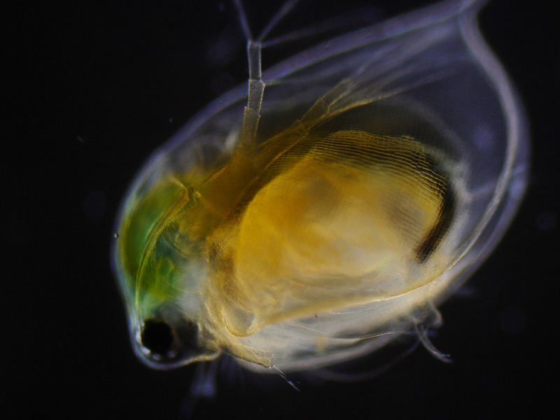 discussion of daphnia Daphnia lab report topics: hypothesis discussion after putting the daphnia in warm daphnia and additives lab purpose the purpose of this lab is to test.