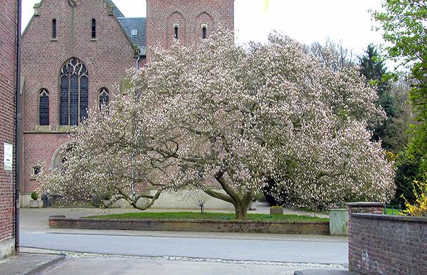 tulpen magnolie. Black Bedroom Furniture Sets. Home Design Ideas