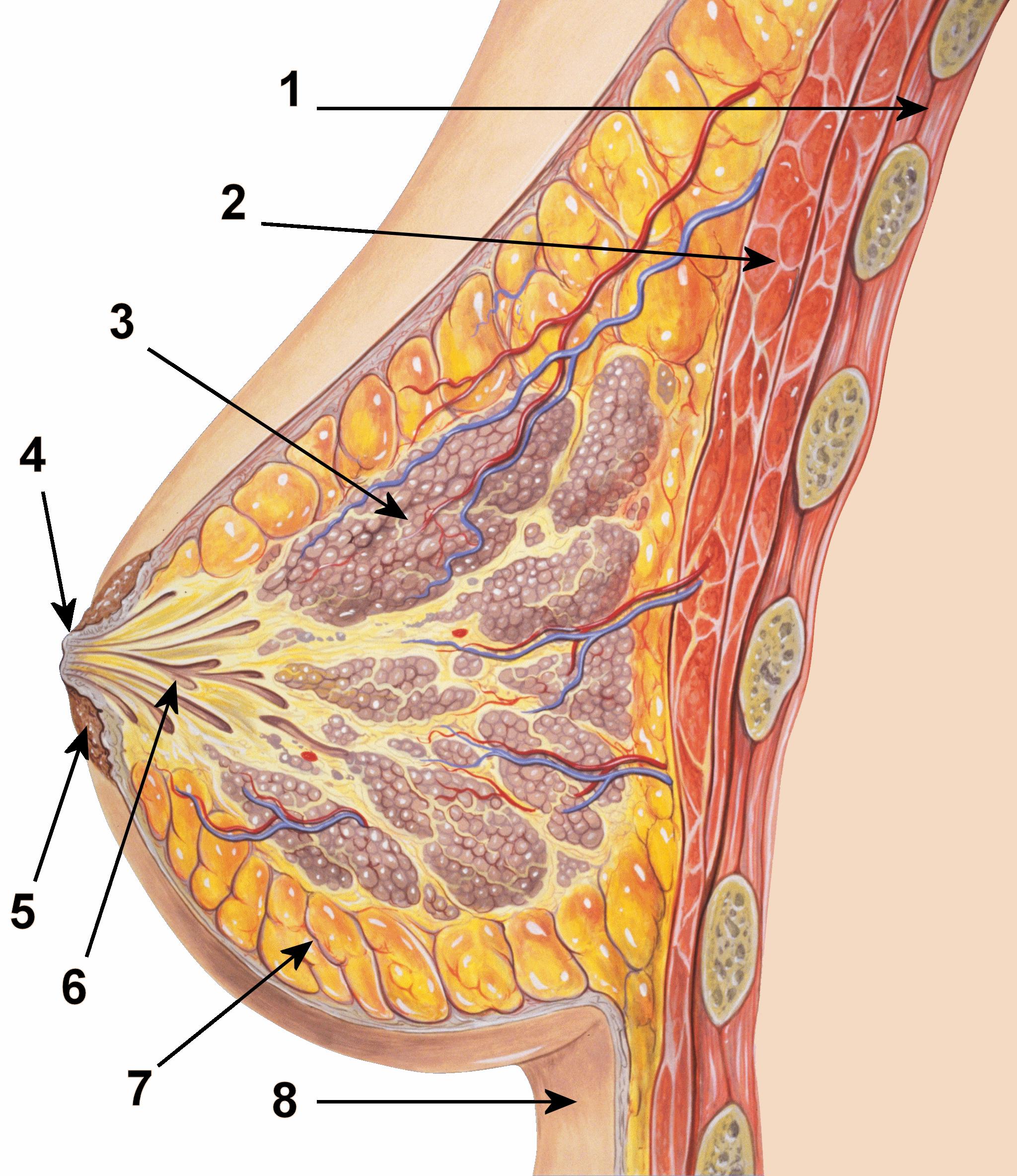 Фото молочной женской груди 9 фотография