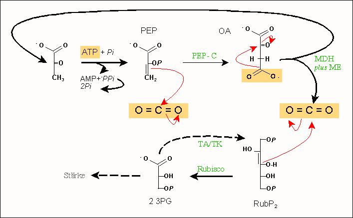 Calvin-Benson-Zyklus