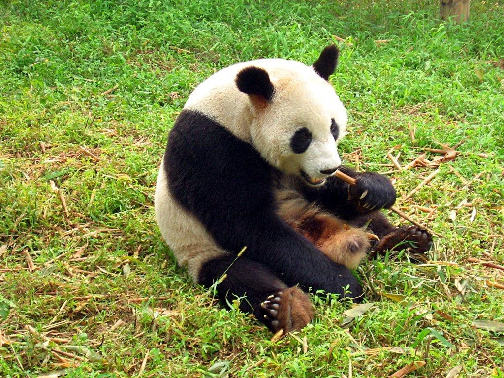 panda isländisch