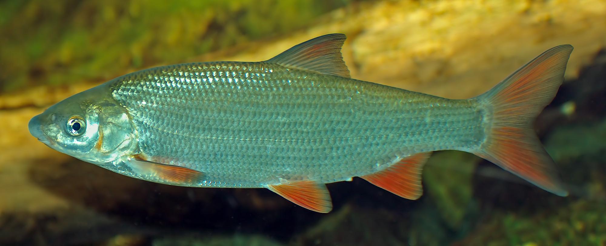 Nase fisch for Fisch bilder