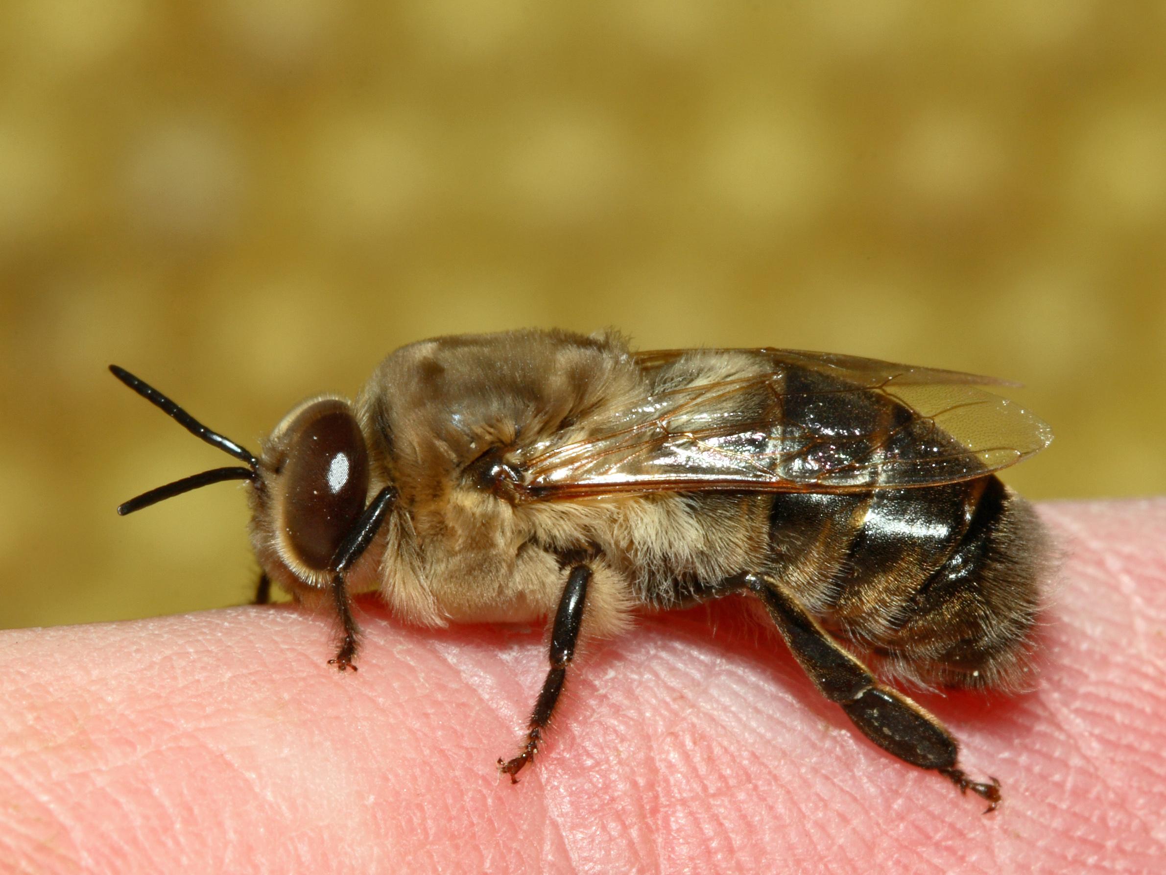 Drohne Insekt