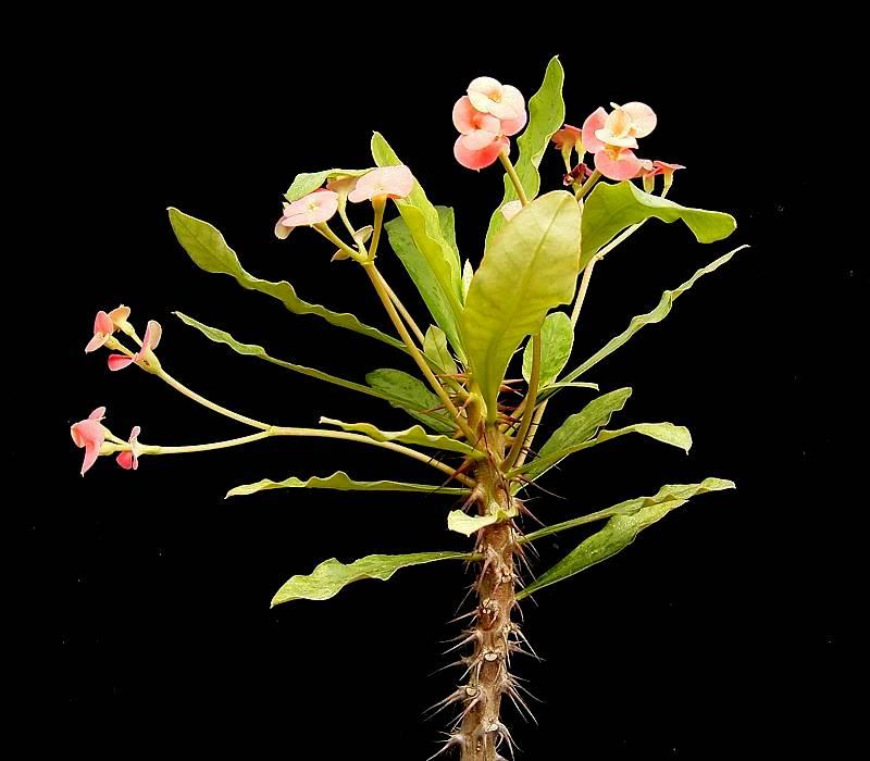Christusdorn euphorbia for Plante 42 chris