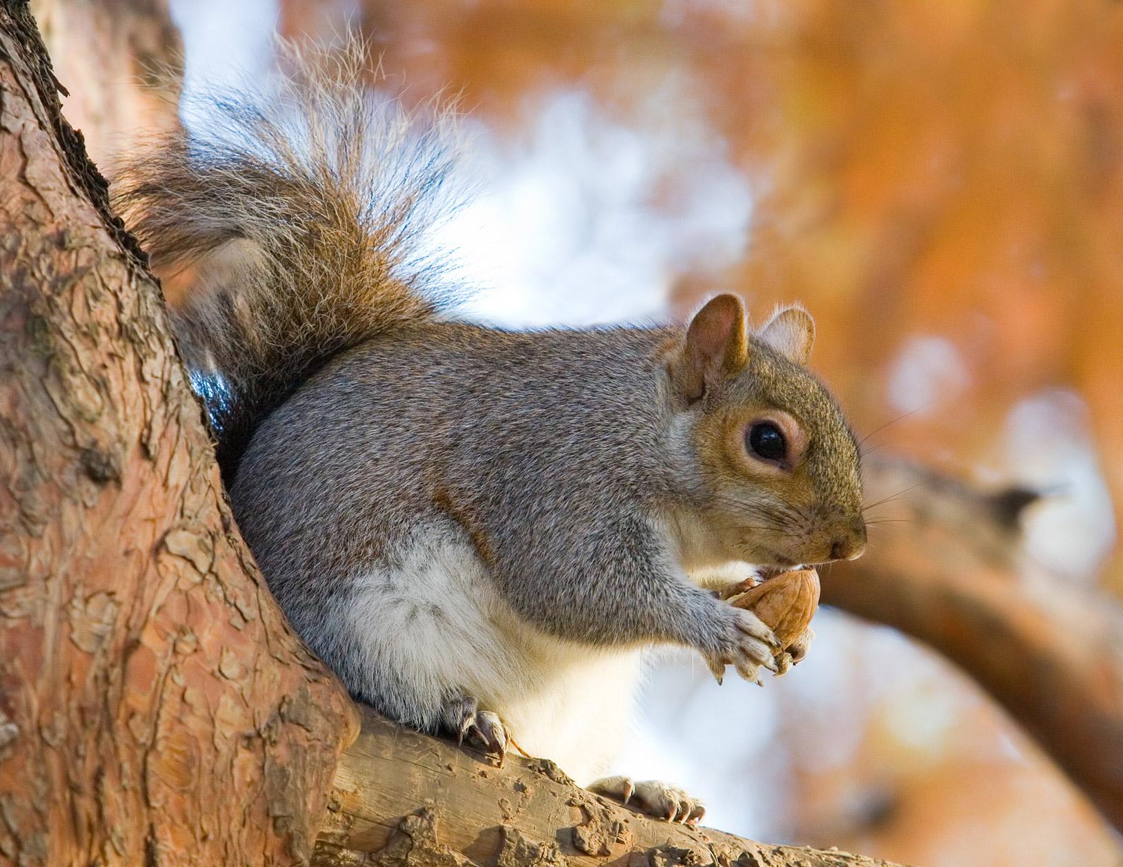 eichhörnchen gattung