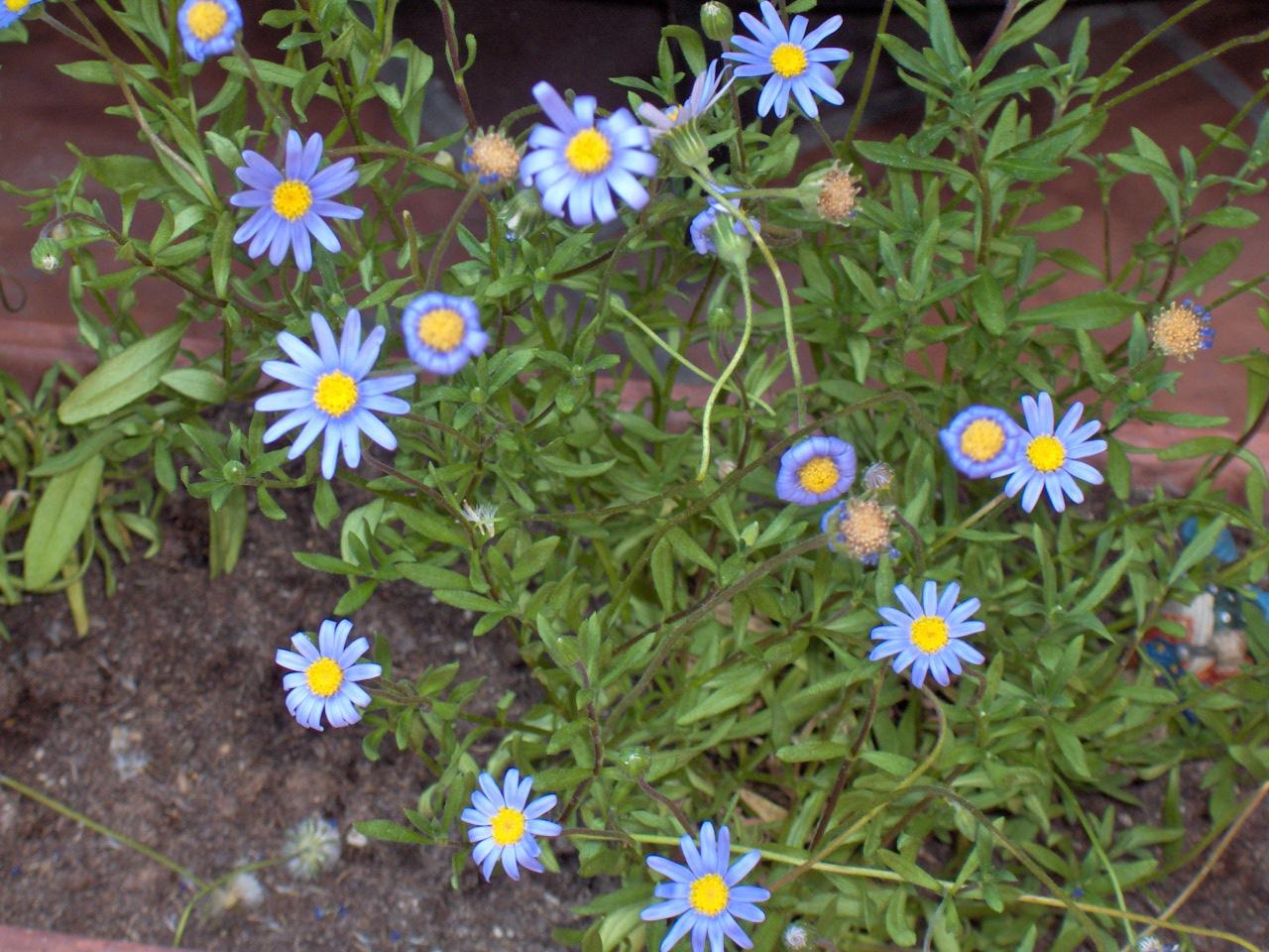 Фелиция цветы выращивание