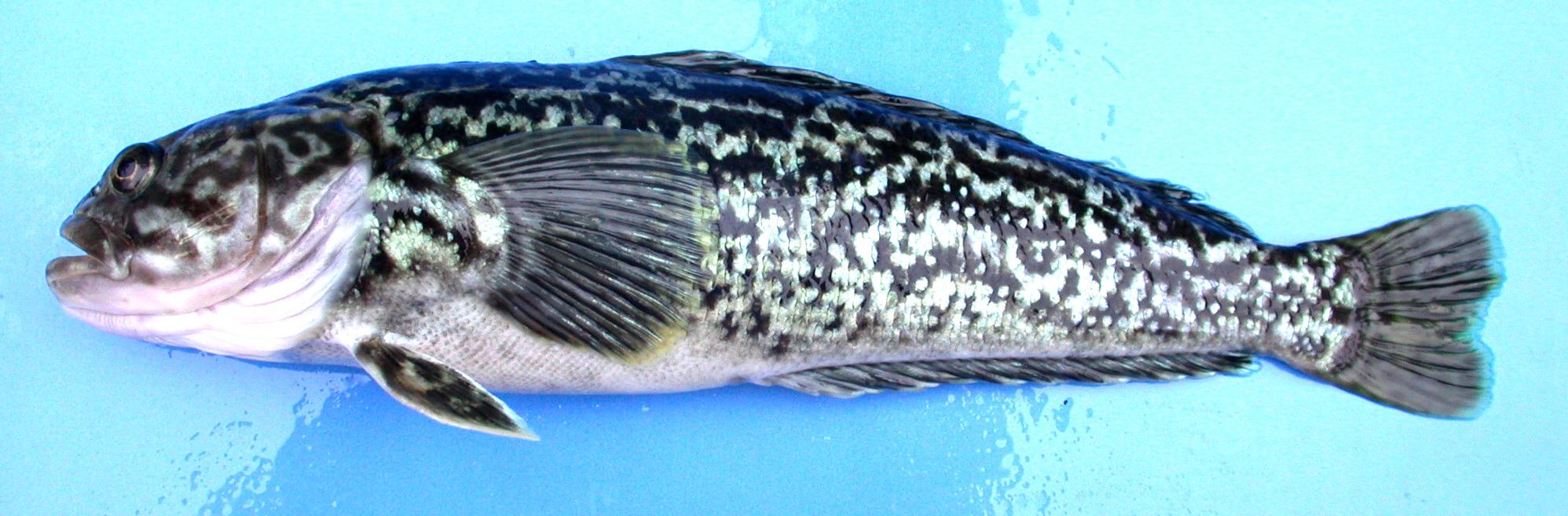 Riesen Silberfisch