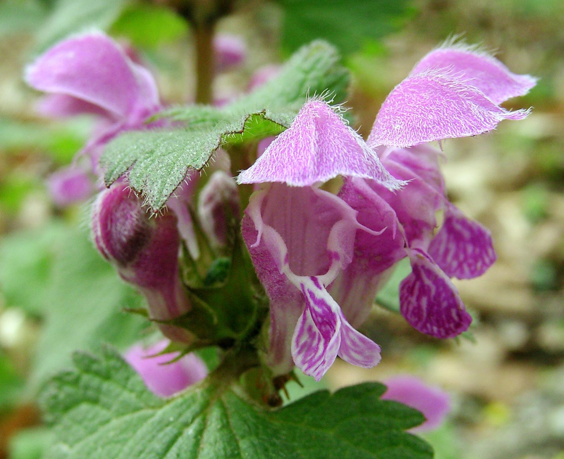 Gefleckte taubnessel for Plante urticante