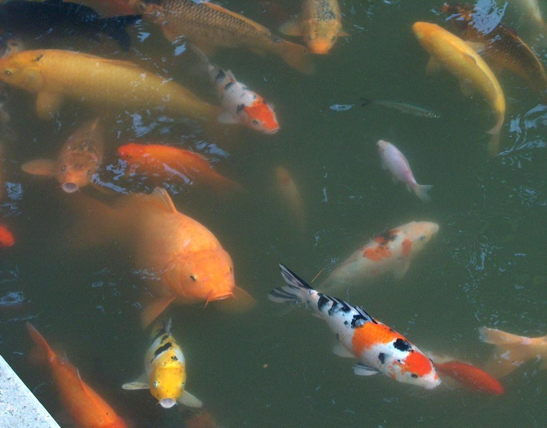 Chinesische symbolik for Fische goldfische