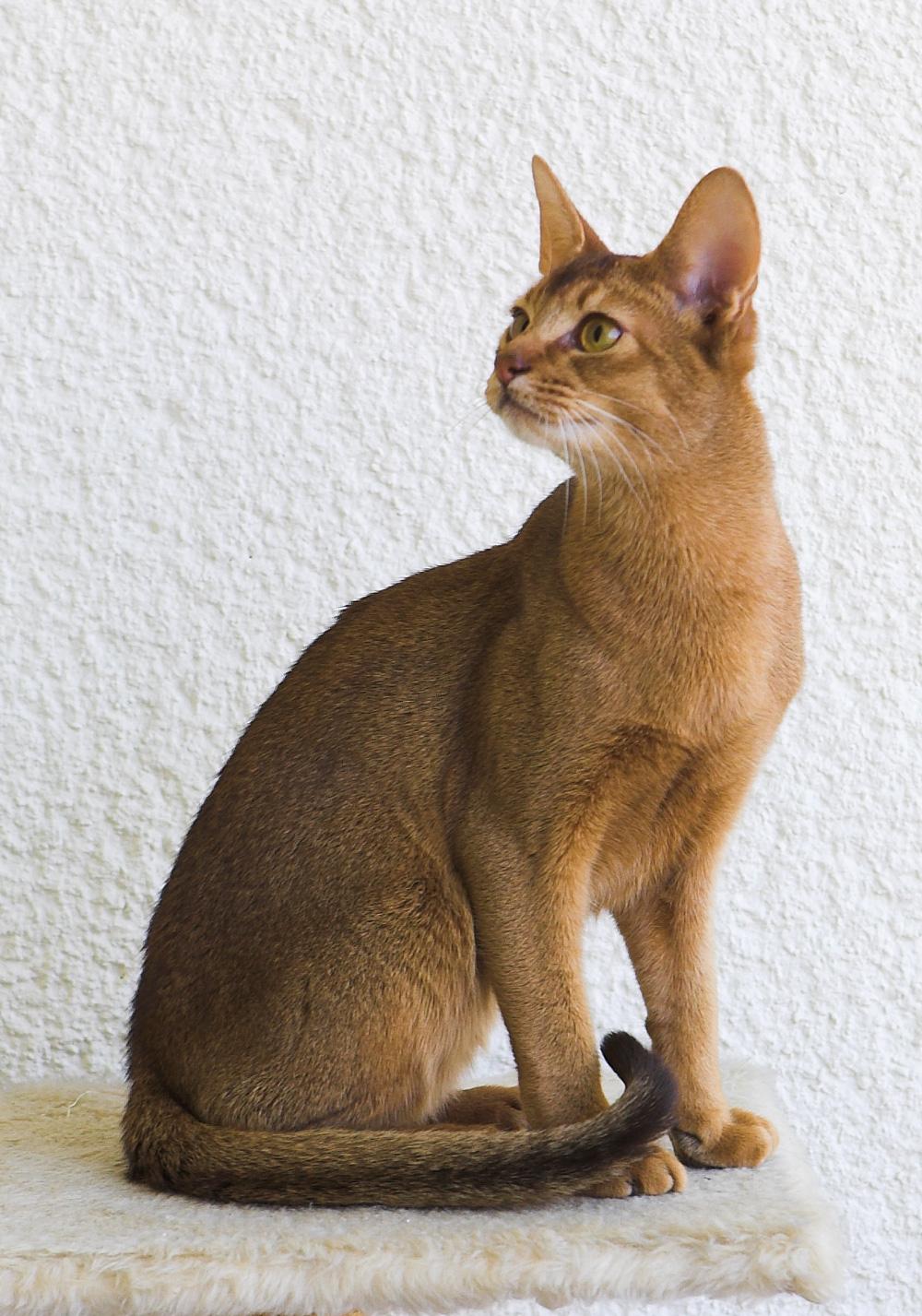 Картинки абиссинская кошка 7