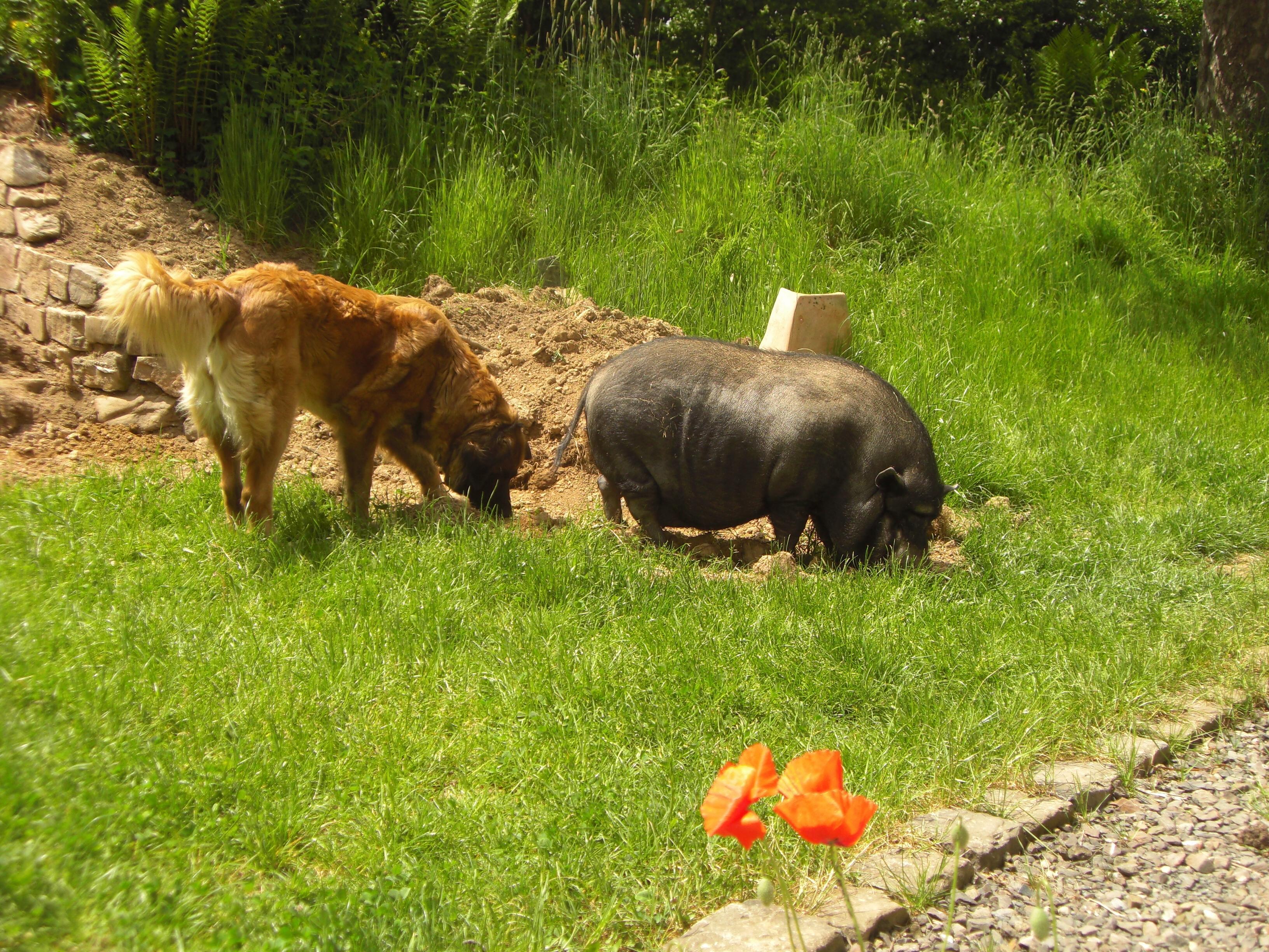 Hund Schwein