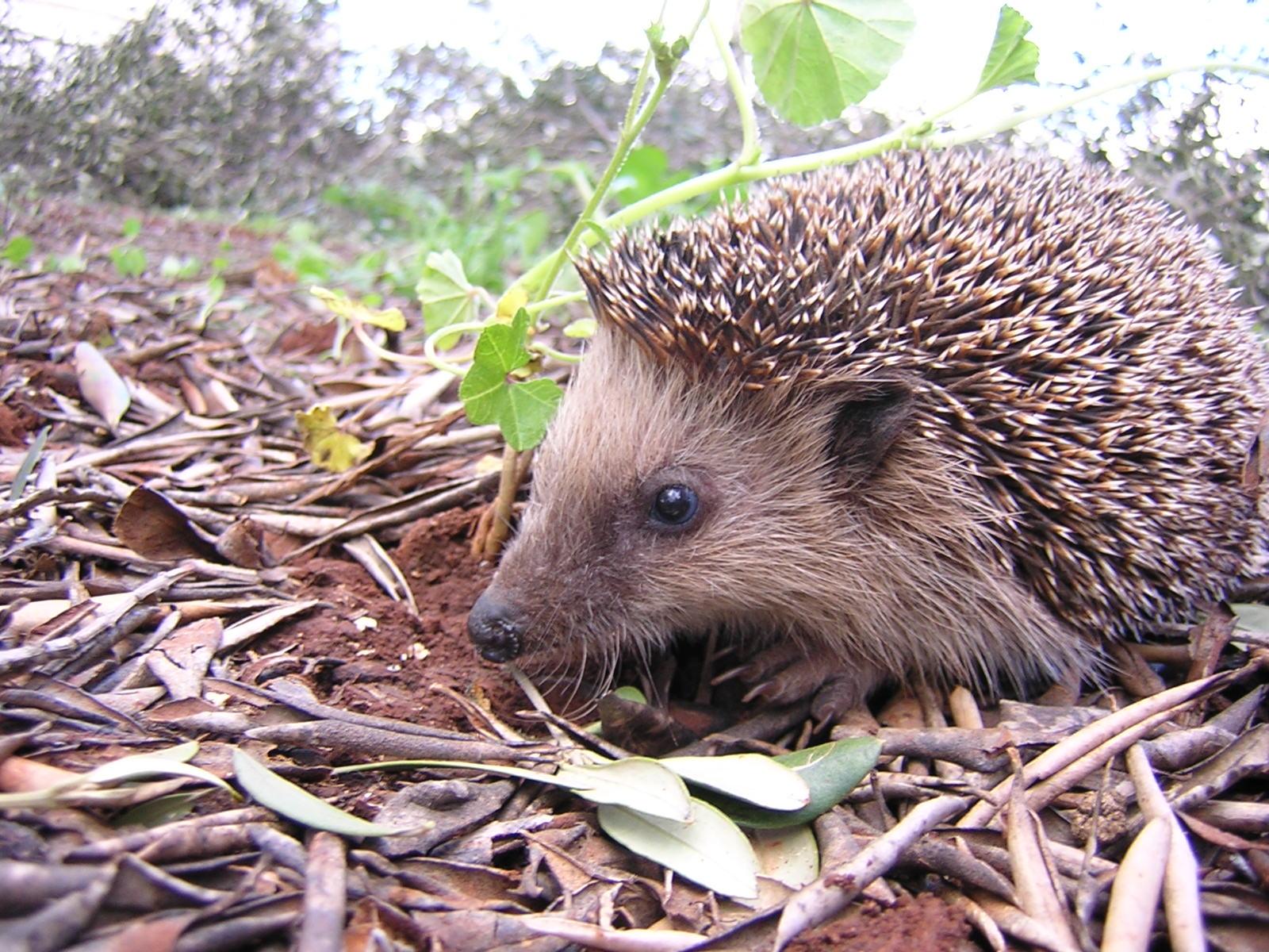 Hedgehog übersetzung